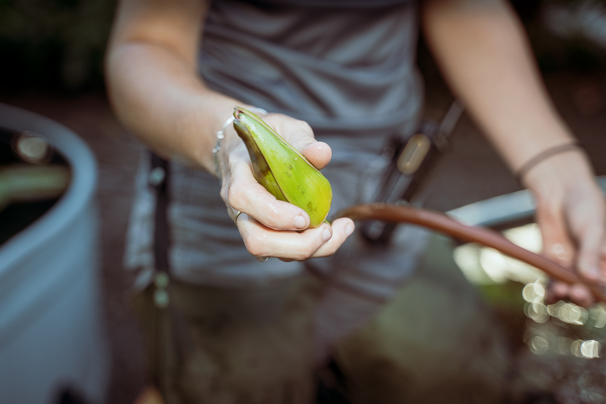 Gardener Morgan squeezes flower buds that are underneath water to double-check that they are spent, and in need of pruning.