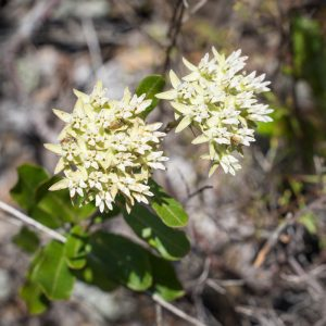 Scrub milkweed is among the 300-plus native plant species growing in our natural areas. It is state endangered, grows only in peninsular Florida, and is found in only one other botanical garden collection in the world.